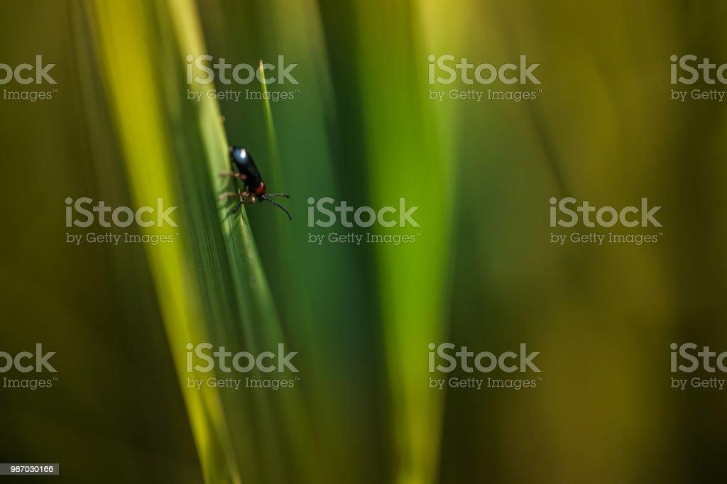 leur foncé marche sur un brin d'herbe verte sous la lumière douce en plan rapproché en été - Photo