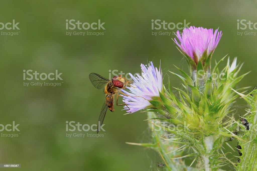 Insecte nectarivore stock photo