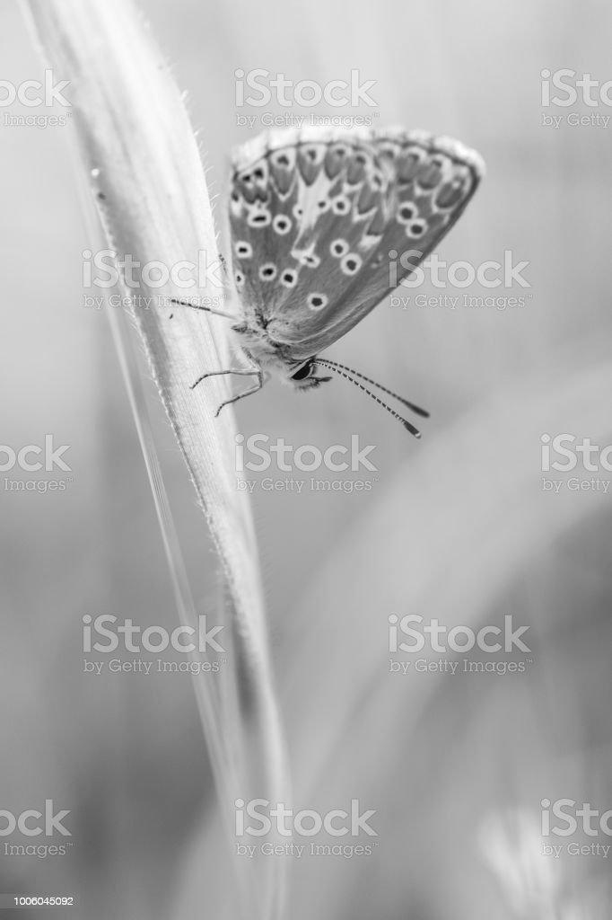 leur papillon azuré commun en été en plan rapproché dans une prairie sur un brin d'herbe en plein jour - Photo