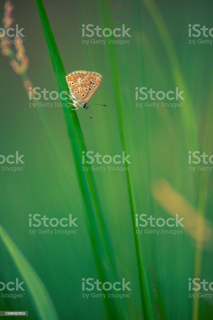leur papillon azuré commun en été en plan rapproché dans une prairie sur un brin herbe - Photo