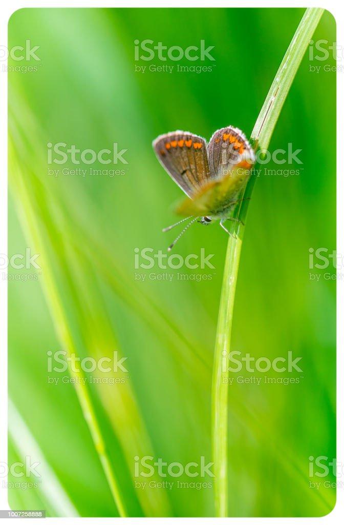 leur papillon azuré commun en été en plan rapproché dans une prairie sur un brin d'herbe en plein soleil - Photo