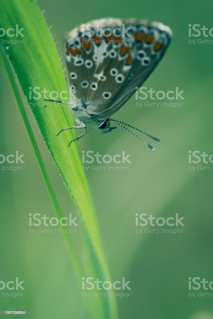 leur papillon seul de profil azuré commun en été en plan rapproché dans une prairie sur un brin herbe - Photo
