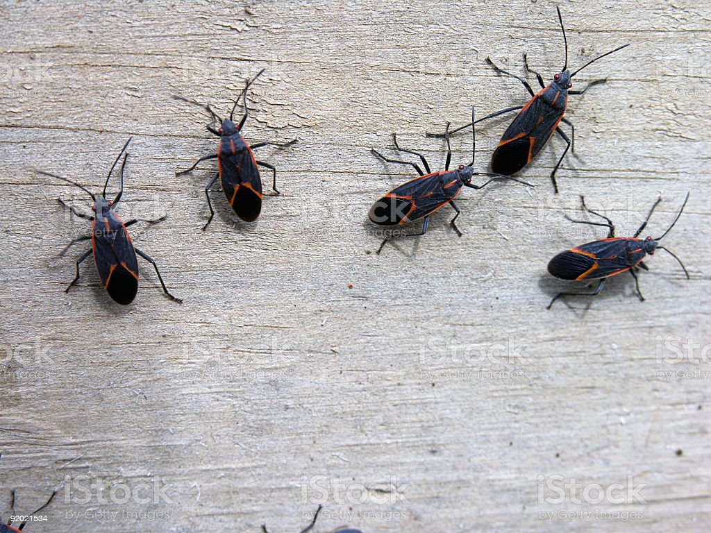 Insects - Box Elder Bugs stock photo
