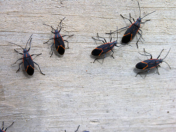 insects - box elder bugs - bugs stock photos and pictures