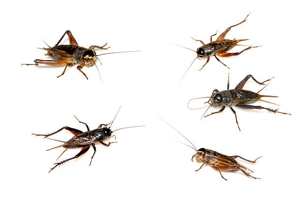 Best Cricket Insect Stock Photos, Pictures & Royalty-Free ...