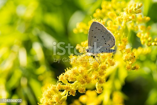 istock Insects like the bee fly, a bee and a holly blue butterfly on the flowers of the yellow gardenplant goldenrod ( Solidago virgaurea or European goldenrod or woundwort ) collecting pollen and nectar 1283569202