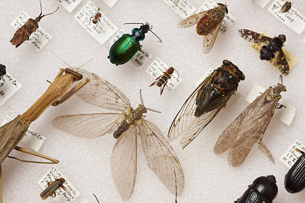 Insects of New England - Entomological Collection New England has a remarkable diversity of insects.  In the spring and summer, billions of insects emerge in their adult forms in order to reproduce.  In this picture: a praying mantis, a cicada, an iridescent beetle, a pentatomid bug, several flies, and some other interesting finds.  All of these insects were collected in Connecticut. specimen holder stock pictures, royalty-free photos & images