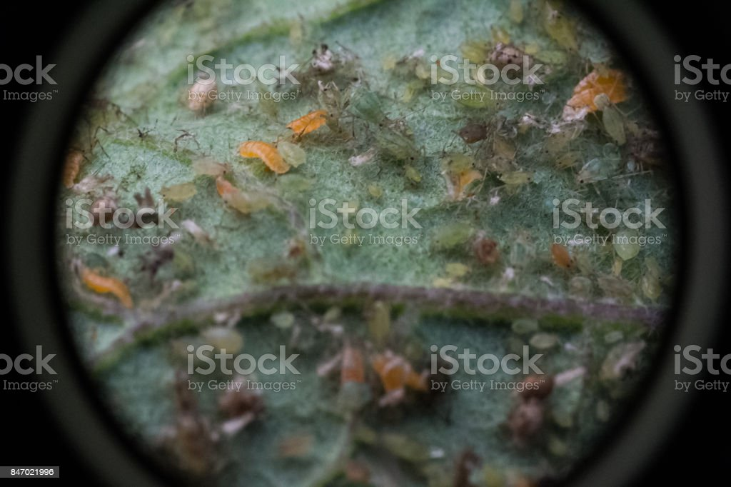 Insects on a leaf, loupe view. stock photo
