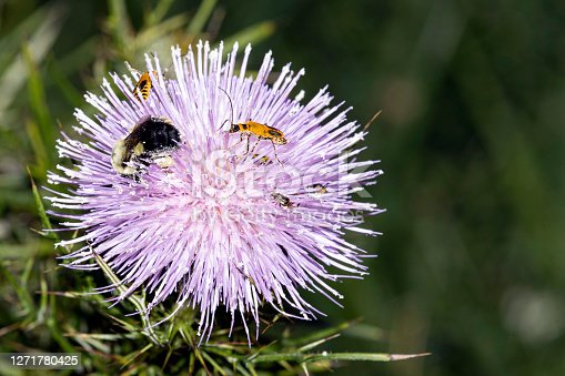 Insects that could include a bumble bee, spotted cucumber beetle, goldenrod soldier beetle and others look for pollen on a Field Thistle Bloom