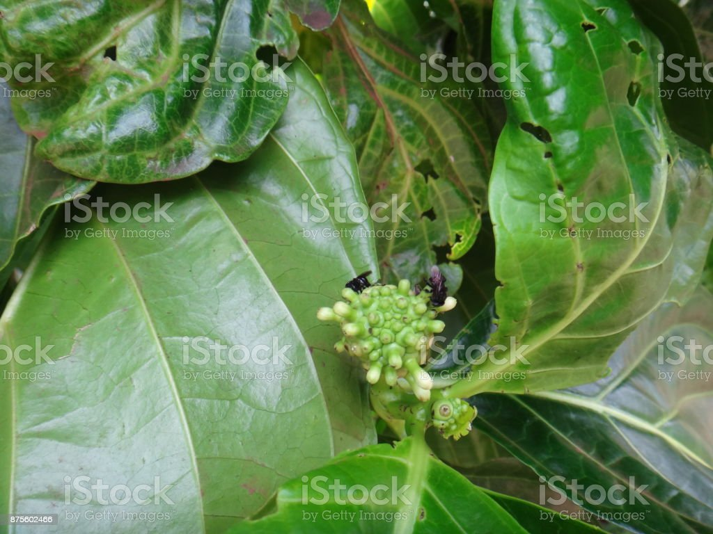 Insects on noni plant stock photo