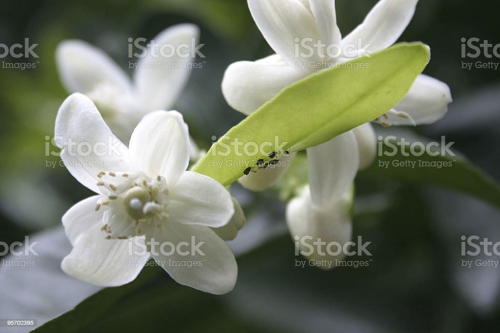 Insects on Orange Blossom Leaf Close-up stock photo