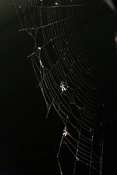 Insects Trapped in a Spider Web at Night, Canada stock photo