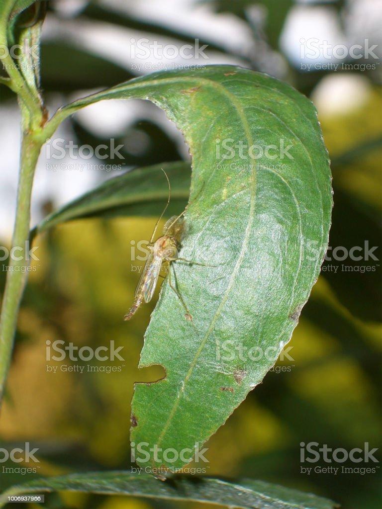 Insekt mit Flügel Dieses fliegende Insekt mit buschigen Fühlern erinnert von der Statur her an Mücken. Austria Stock Photo