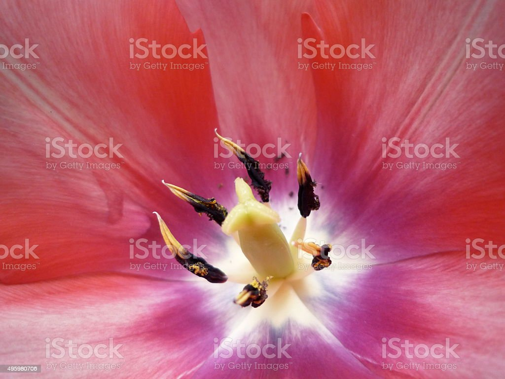 Inside a pink tulip stock photo