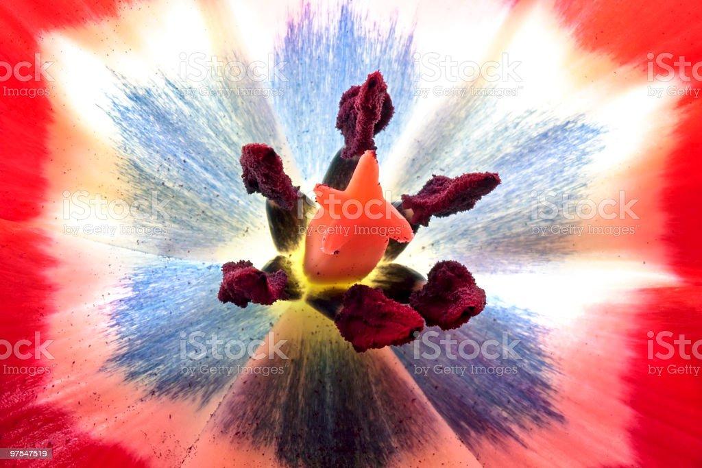 À l'intérieur d'une fleur de Tulipe rouge, peut être utilisé comme arrière-plan photo libre de droits