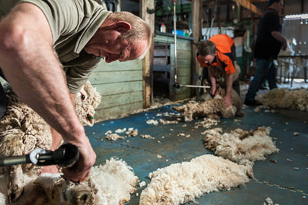 Inside a Shearing Shed in Australia stock photo
