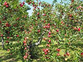 Inside an apple orchard on a sunny summer day, just before the harvest