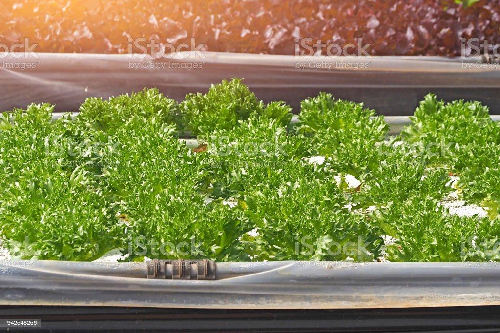 inside assort many kind type of hydro salad vegetable farm stock photo