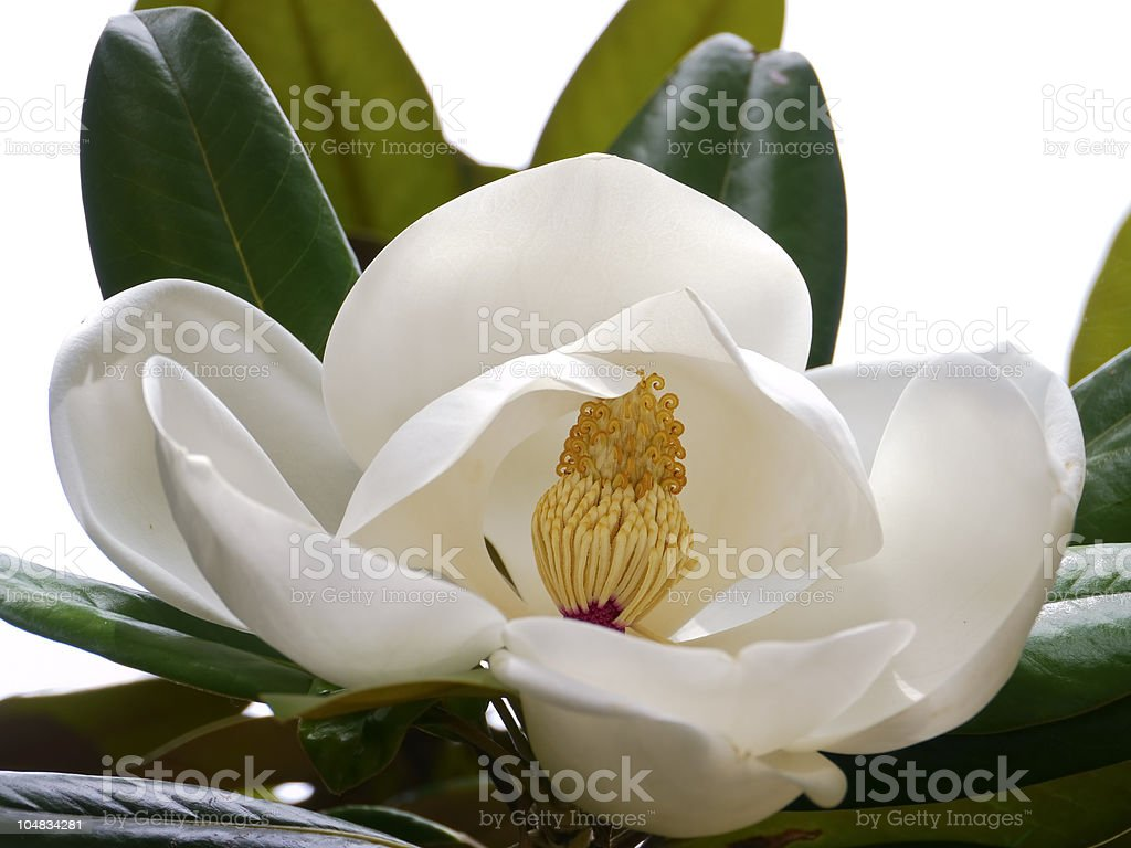 Inside flower: 'Indian bark' or 'evergreen magnolia' stock photo