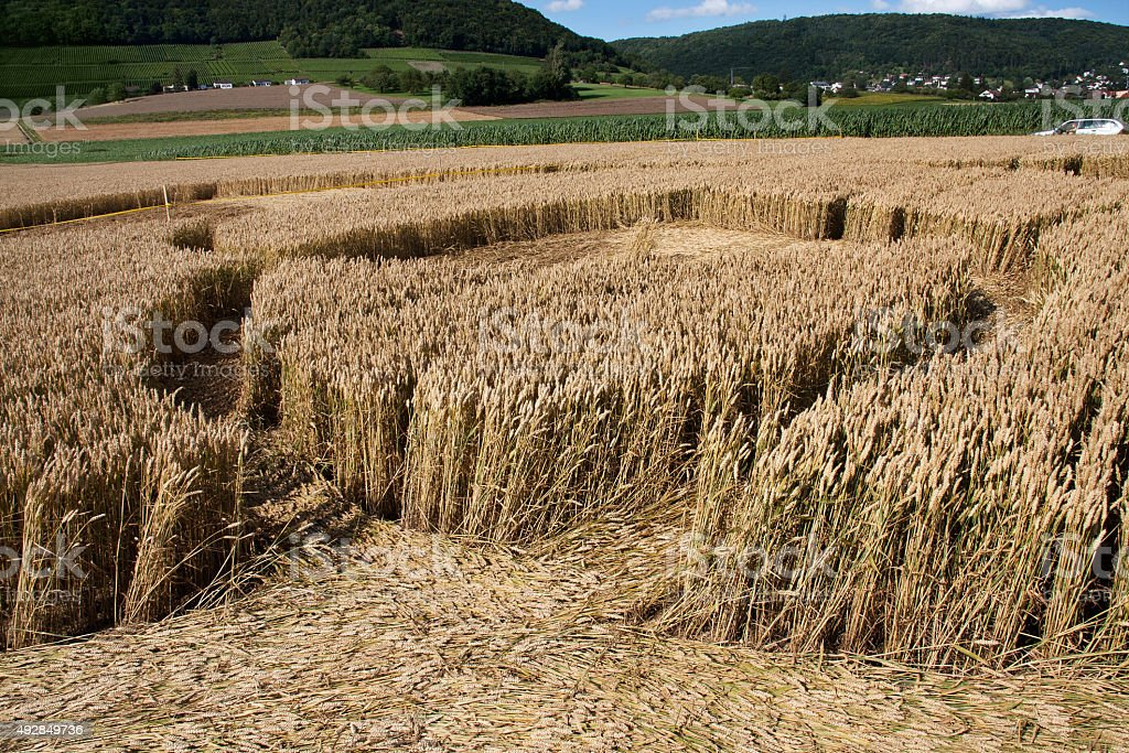 Inside of a crop circle in wheat field stock photo