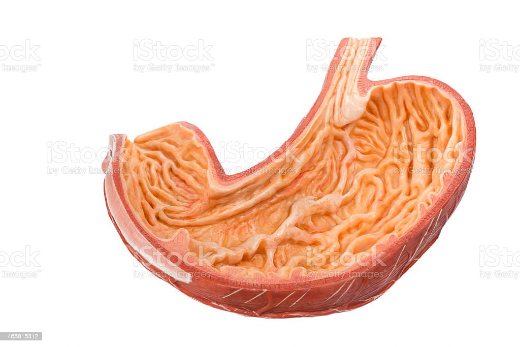 Inside Of Artificial Human Digestive Stomach Model Stock Photo