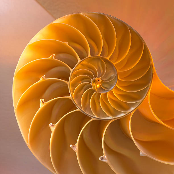 inside of nautilus shell showing spiral - nautilus stock pictures, royalty-free photos & images