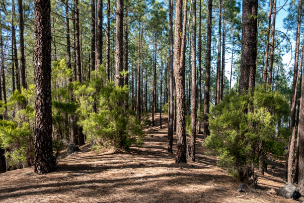 inside pine tree forest - coniferous forest stock photo