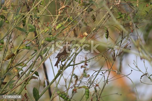 A singing bird inside the bush of a bean plant. Daily visitor is enthusiastic in search of food