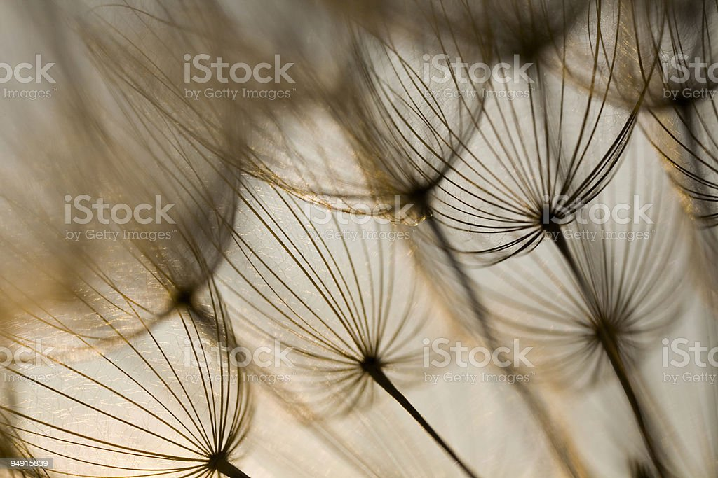 Inside the dandelion royalty-free stock photo