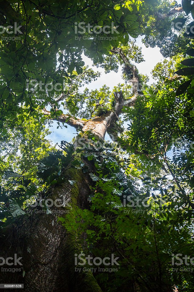 Inside the jungle of Corcovado stock photo