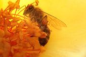 honey bee on rose stamen, backlit image