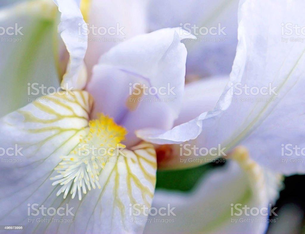 Inside the white iris flower closeup stock photo more pictures of inside the white iris flower close up royalty free stock photo izmirmasajfo