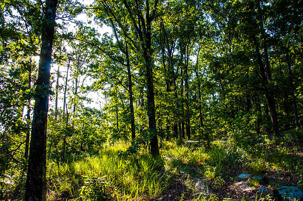 Inside Thick Forest of the Ozark Mountains Inside Thick Forest of the Ozark Mountains national forest stock pictures, royalty-free photos & images