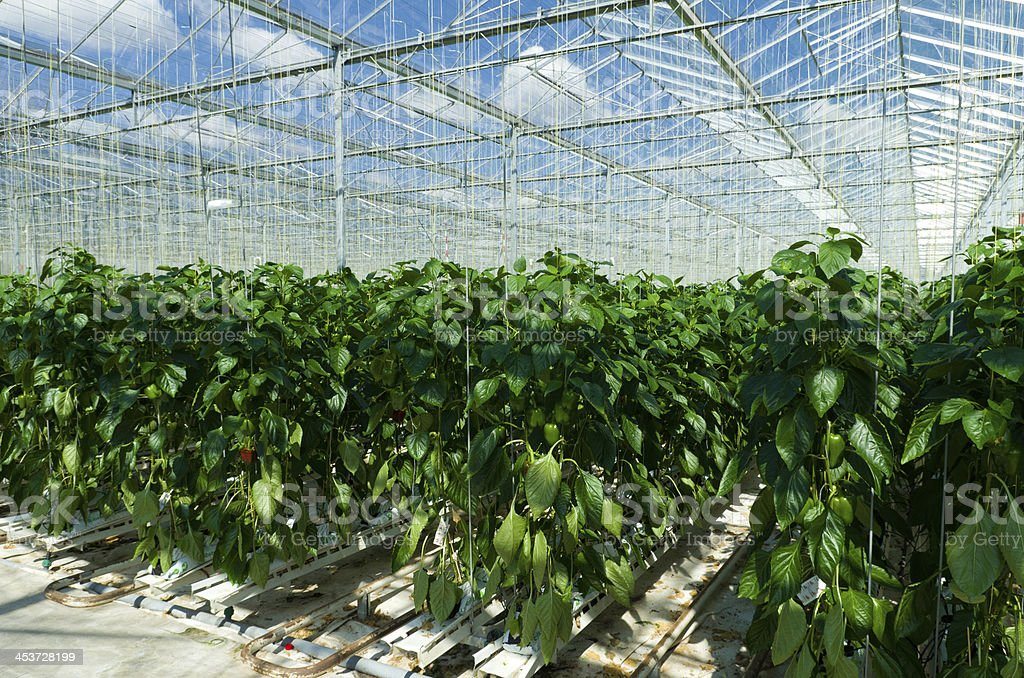 Inside view of commercial greenhouse stock photo