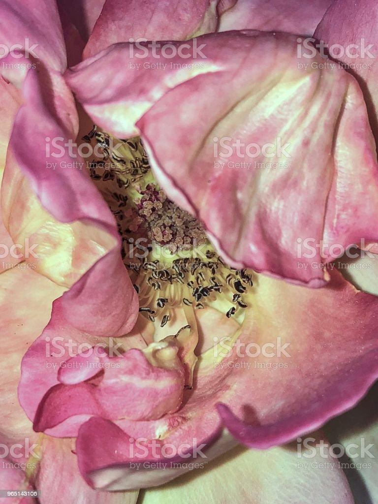 Insie pink rose flower zbiór zdjęć royalty-free