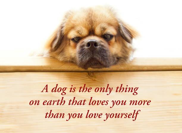 inspirierendes zitat über hunde und menschen sagen - ein hund ist das einzige, was auf der erde, die sie mehr liebt, als er selbst liebt. mit niedlichen tibetischen spaniel hund. - bild - haar zitate stock-fotos und bilder