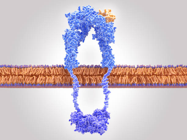 Insulin receptor activated by insulin binding stock photo
