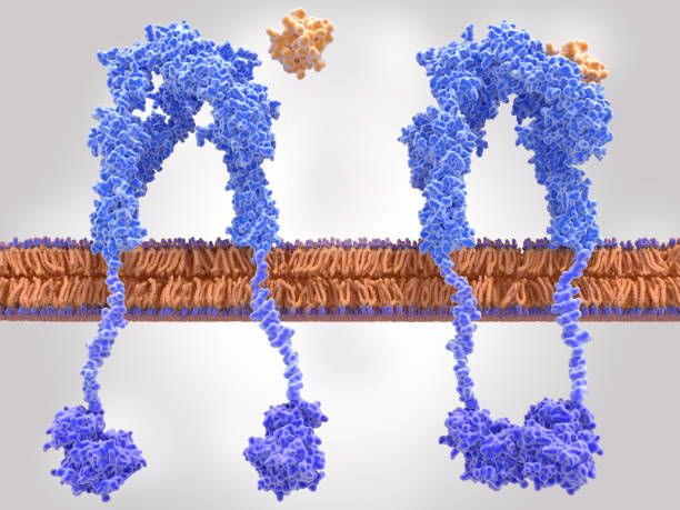 Insulin receptor inactivated (left) and activated (right) after insulin binding The insulin receptor (blue) is a transmembrane protein, that is activated by insulin (orange). Insulin binding induces structural changes within the receptor which activates a signal cascade leading to the transport of glucose into the cell. islet of langerhans stock pictures, royalty-free photos & images