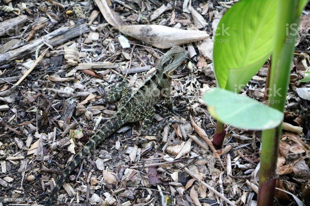 Intellagama lesueurii in Brisbane City Botanic Gardens, Queensland Australia stock photo