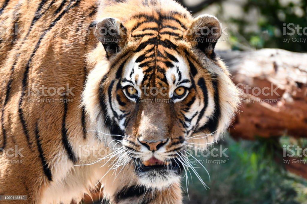 Intense Bengal Tiger Stare (panthera tigris tigris) stock photo