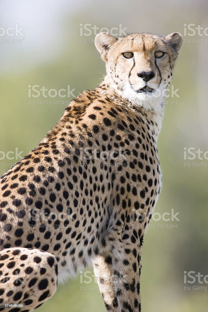 Intense Cheetah stock photo