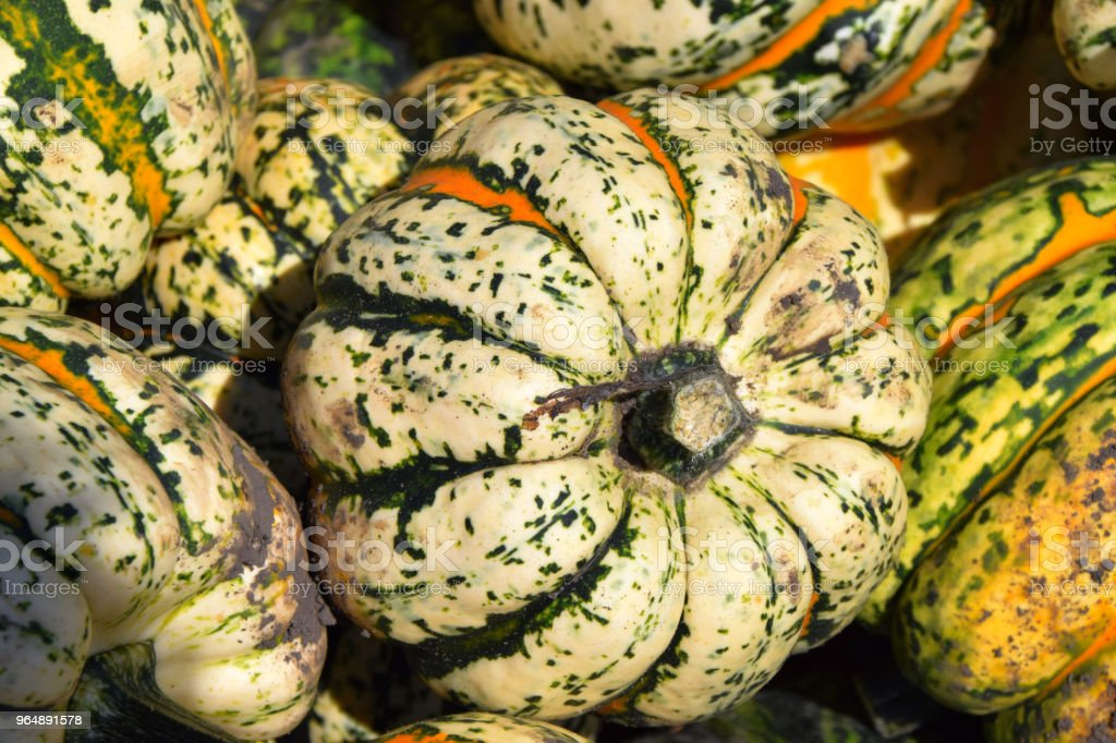 intense colours of microwave pumpkins royalty-free stock photo