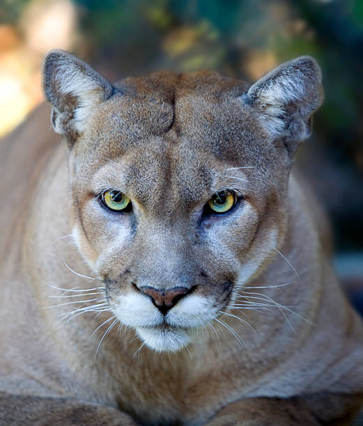 Intense Florida Panther Face with Piercing Eyes Close Up stock photo