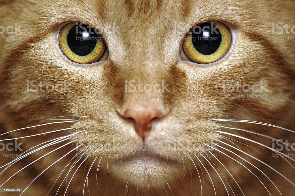 Intense Kitty royalty-free stock photo