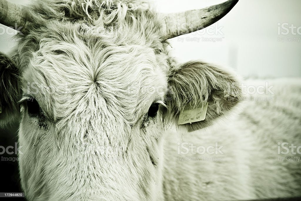 Intense looking cow royalty-free stock photo
