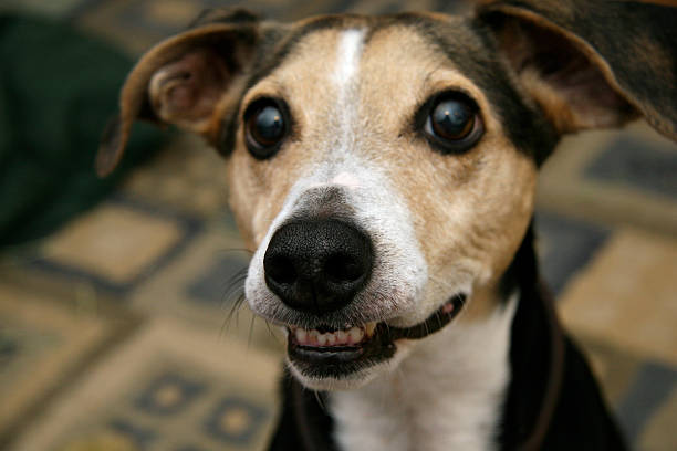 Intense terrier with crooked teeth
