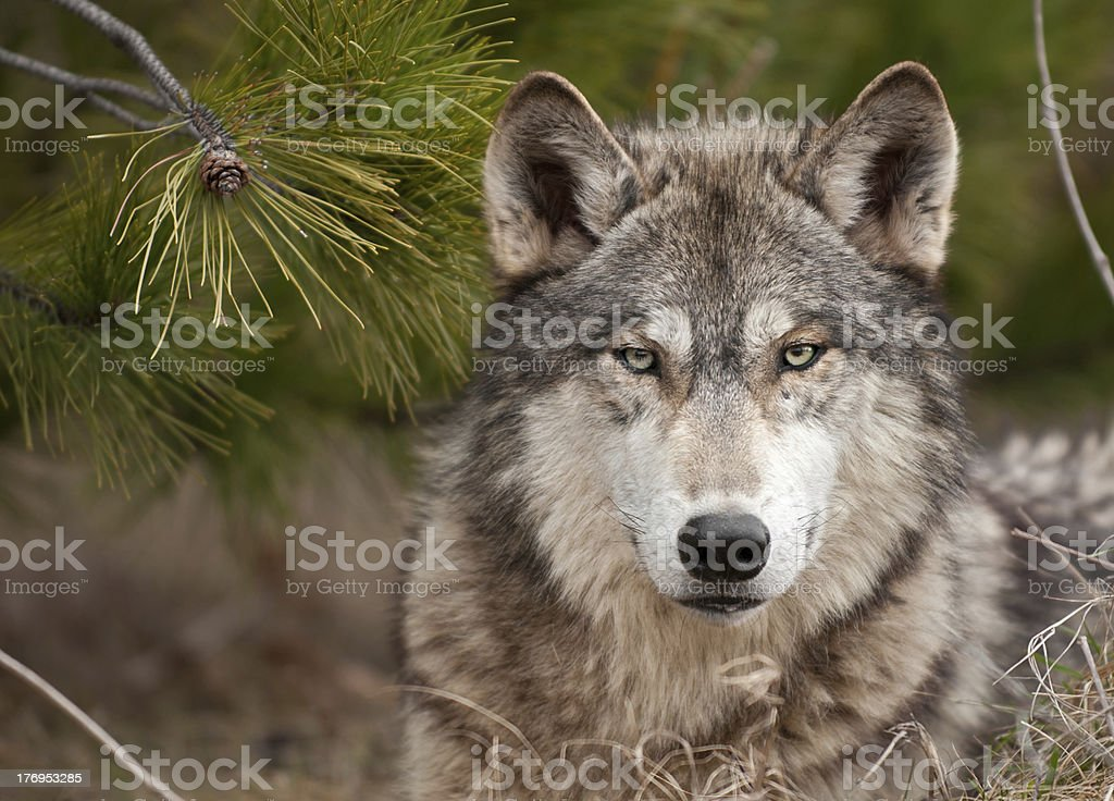 Intense Timber Wolf (Canis lupus) Sits Under Pine stock photo