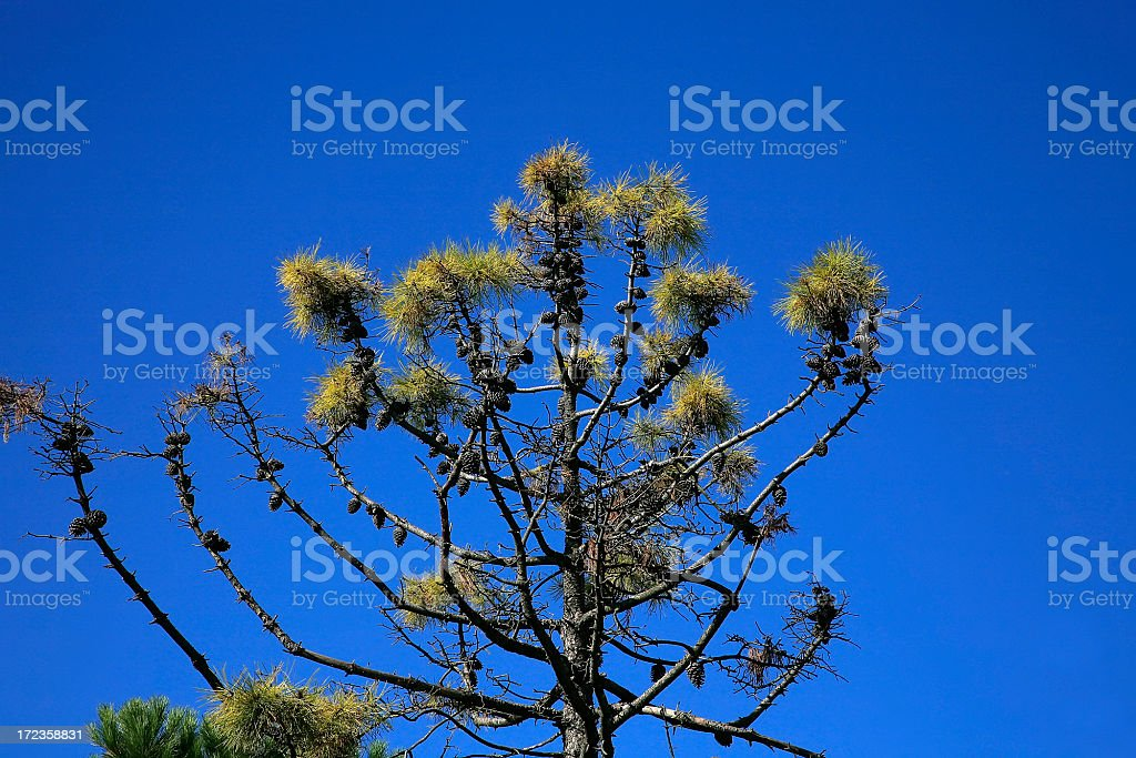 Intense Tuscan Blue Sky With Pine Tree royalty-free stock photo