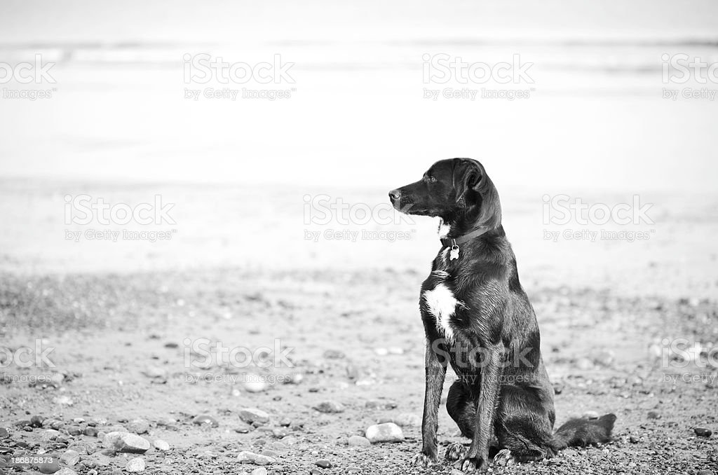 Intensely muscled dog sitting on the beach stock photo