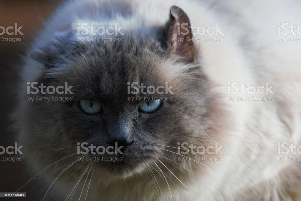 Intensely Staring Fluffy Birman Cat Face stock photo